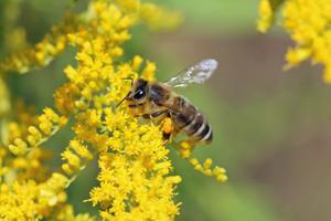 Neophyten und Honigbienen