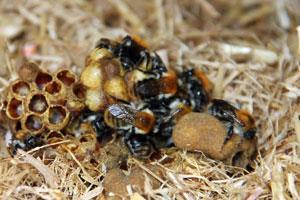 Wildbienen. Lebensweise und Lebensräume