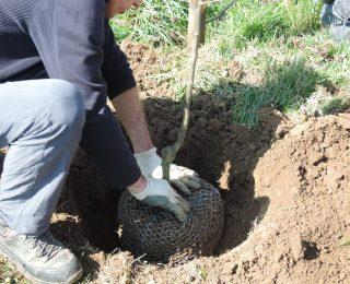 Birnenanbau-klingt einfacher, als es tatsächlich ist!